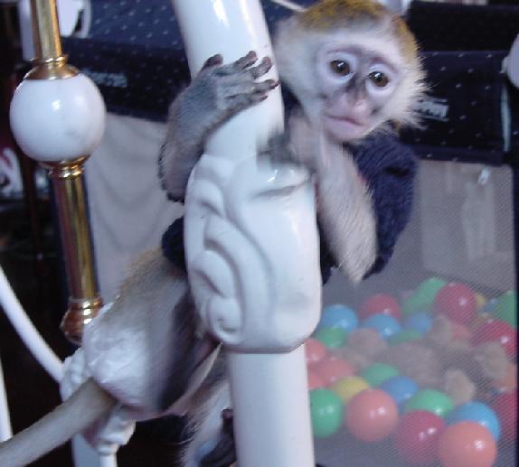 Baby capucin maimuta de vanzare.