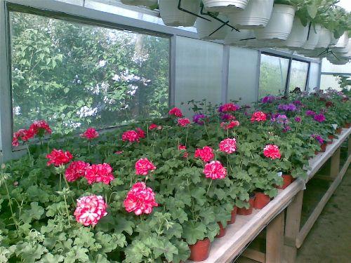 petunii curgatoare si flori de sezon