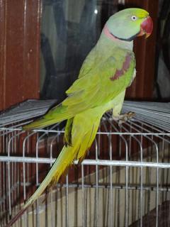 Vand Papagali Vorbitori