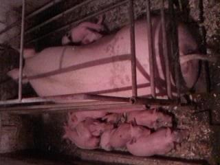 Vand purcei de carne Kahib cu Marele Alb si Pic si scrofite de reproductie si scroafe gestante