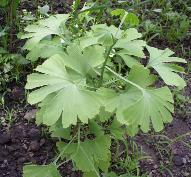 Ginkgo Biloba - copaci de vanzare