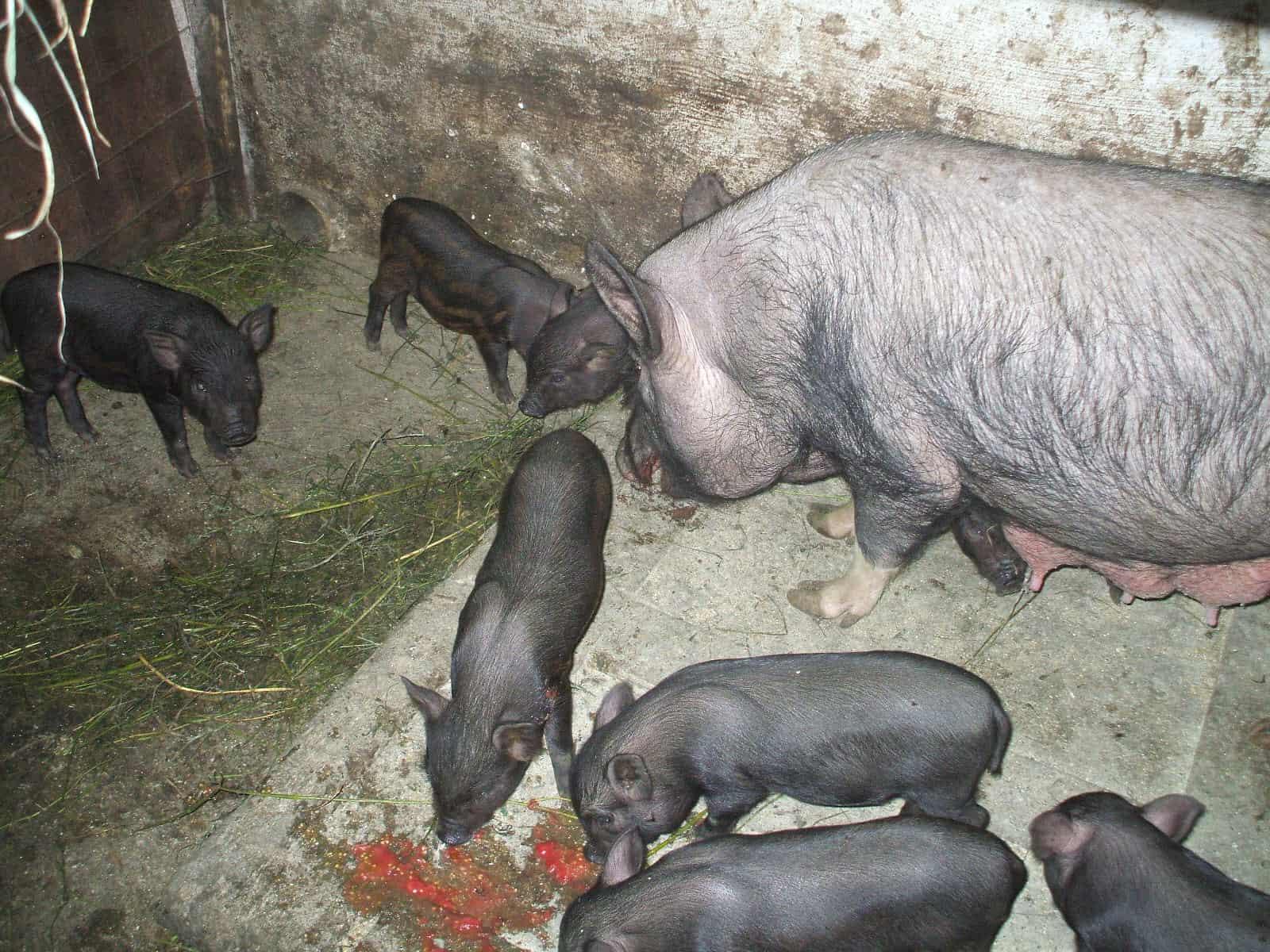 Porci vietnamezi-Mures