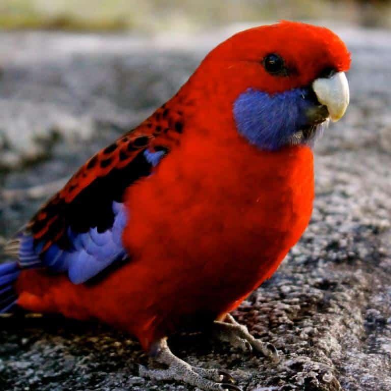 crescator vand pui de papagali vorbitori ️ Mica Publicitate