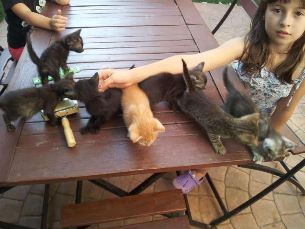 Donez pui pisica