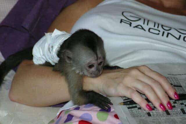 Maimutele capucin de vanzare