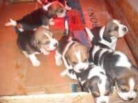 Beagle tricolori masculi si femele