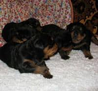 Rottweiler de Vanzare masculi si femele