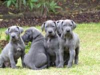 Vand catei Dog German