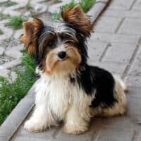 Vand catei Yorkshire Terrier Biewer