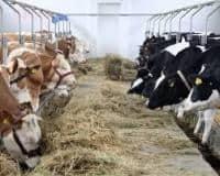 Ferme vaci-salariul 1600 Euro-Germania