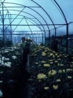 Vand butasi de crizantema