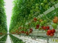 Sere– cules legume -  1500 Euro