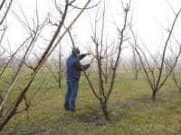 Taieri si tratamente la pomi fructiferi si vita de vie.