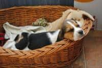 Caini Beagle tricolor de vanzare cu vaccinuri, deparazitari interne si externe si cu carnet de sanatate. Informatii la 0