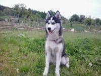 Monta Husky Siberian