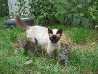 Donez pui de pisica birmaneza