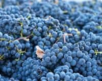 Vand struguri fraga neagra si alba 100% eco – 1,3 lei – Dobarceni, Botosani