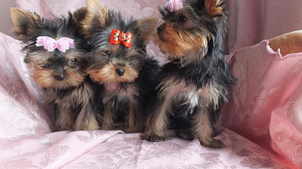 Catei Yorkshire Terrier disponibili talie foarte mica. Catelusii pleaca spre noua lor casa impreuna cu vaccinurile si de