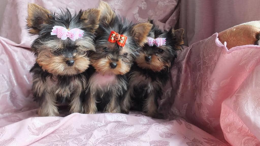 Puisori Yorki Terrier toy  isi cauta o familie iubitoare care sa le ofere atentia si iubirea necesara. Cateii sunt depar