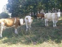 Lichidez ferma de vaci Calanu Mic