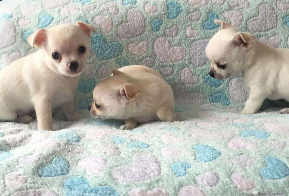 Crescator, vand companioni Chihuahua  foarte blanzi si loiali. Catelusii pleaca de la noi impreuna cu vaccin, deparazita