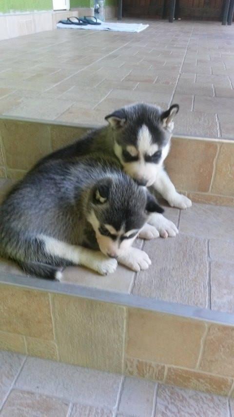 Crescator, vand companioni Husky Siberian foarte blanzi si loiali. Catelusii pleaca de la noi impreuna cu vaccin, depara