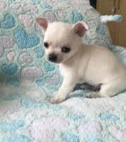 Vand catelusi  Chihuahua vaccinati, deparazitati si cu carnet de sanatate.Asigur transport gratuit in tara. Mai multe de