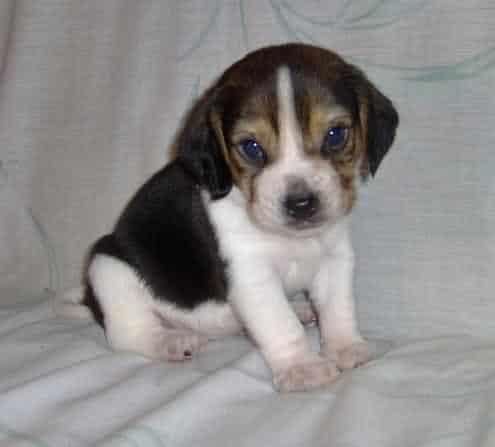 Vand catelusi  Beagle vaccinati, deparazitati si cu carnet de sanatate.Asigur transport gratuit in tara. Informatii supl