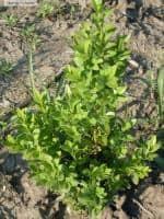 Vand Buxus sempervirens