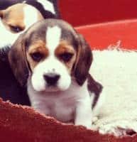 Puisori din rasa Beagle tricolor, talie medie foarte frumosi si jucaus