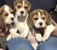 vand puisori Beagle tricolor, foarte frumosi. Catelusii au carnet de s
