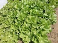 Vând salata creata 2017