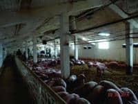 Avantajos ferma de porcine