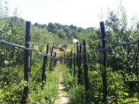 Mure soiul Thornfree