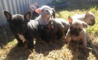 Franceză pui Bulldog rasă pură pentru adopție