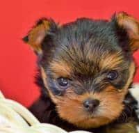 Vand catelusi Yorki Terrier Toy vaccinati, deparazitati si cu carnet d