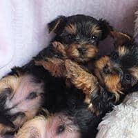 Catei Yorkshire Terrier disponibili talie foarte mica. Catelusii pleac