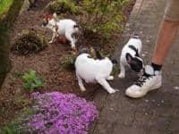 Bulldog francese per l'adozione