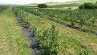 Vand plantatie de afine pe rod anul 3 jud. Mures