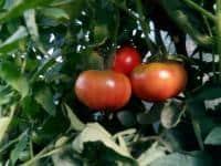 Vand pepeni verzi tomate rosii ardei castraveti si varza Craidorolt Sa