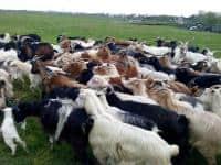 Vand capre de rasa