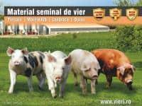 Material seminal de vier - rasa Pietrain, Marele Alb, Landrace, Duroc