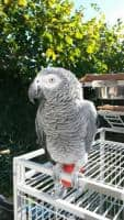 Papagal African Gri