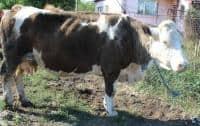 Vand vaca tanara