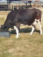 Vand vaca holstein tanara cu vitel langa ea