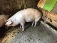 Porcde vânzare