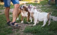 Catei  Bulldog englez de vanzare. Catelusii pleaca spre noua lor casa