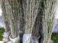 Vand pomi Goji,arbusti Goji,plante Goji