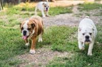 Patruped din rasa Bulldog englez  isi cauta o familie iubitoare si res