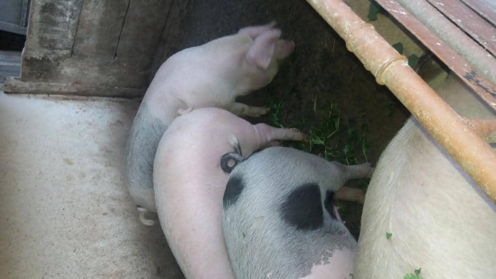 Porci pentru Sacrificat